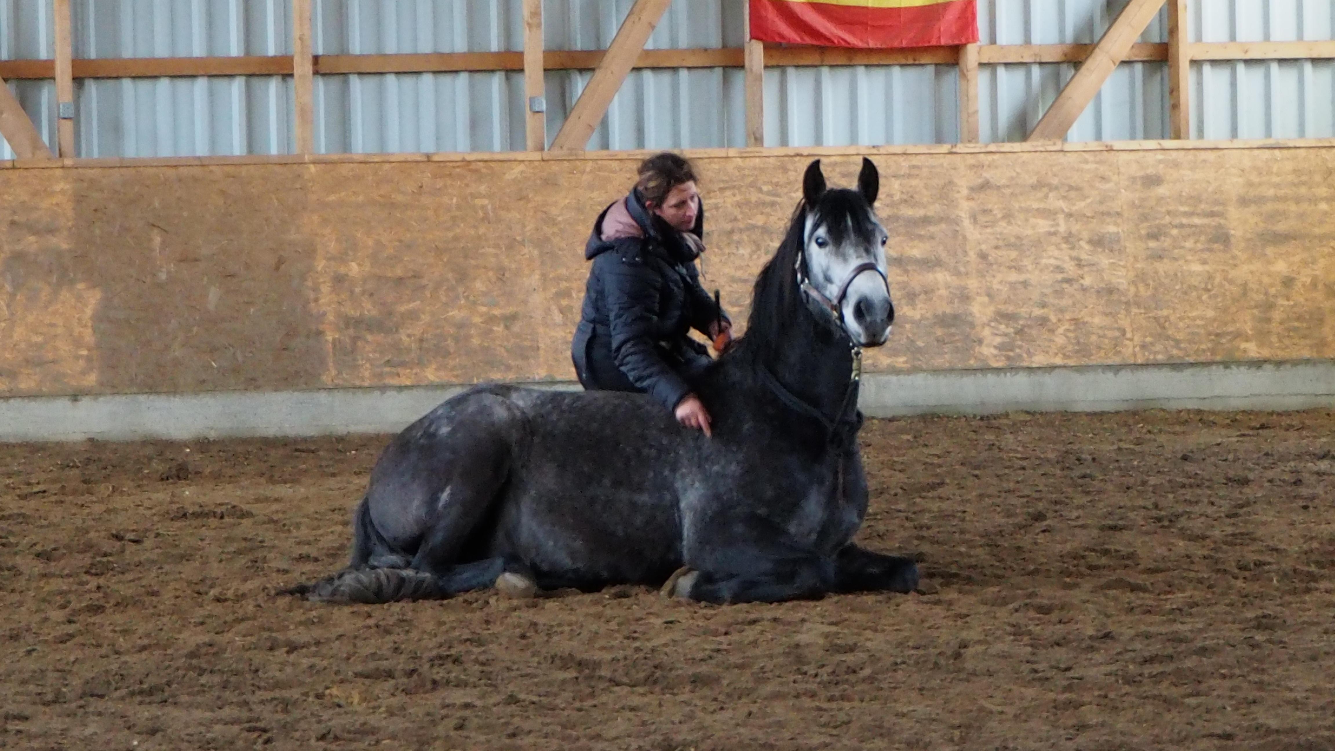 Pferd Hinlegen - Zirkuslektion