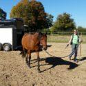 Online-Workshop-Serie: Vorbereitungen für das Verladen von Pferden
